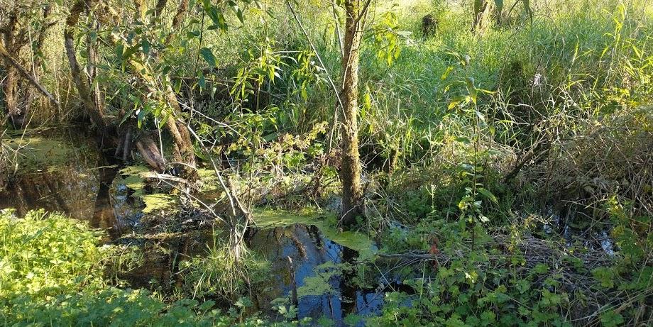 Big Soos Creek, Kent, Washington. Photo: MaximumMangoCloset CC BY-SA 4.0