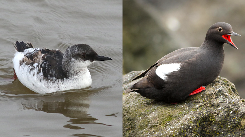 Nonbreeding and breeding plumage of pigeon guillemots. Photos: Derek Keats (CC BY 2.0) https://creativecommons.org/licenses/by/2.0 and Jacob McGinnis (CC BY-NC-ND 2.0) https://flic.kr/p/V9WCVP