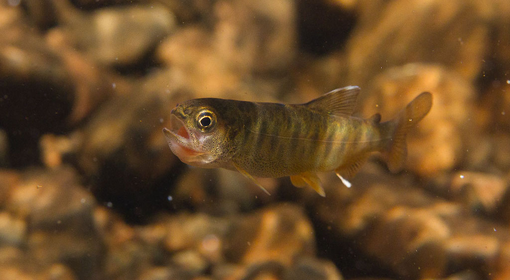 A young coho salmon with sockeye salmon egg in its mouth.
