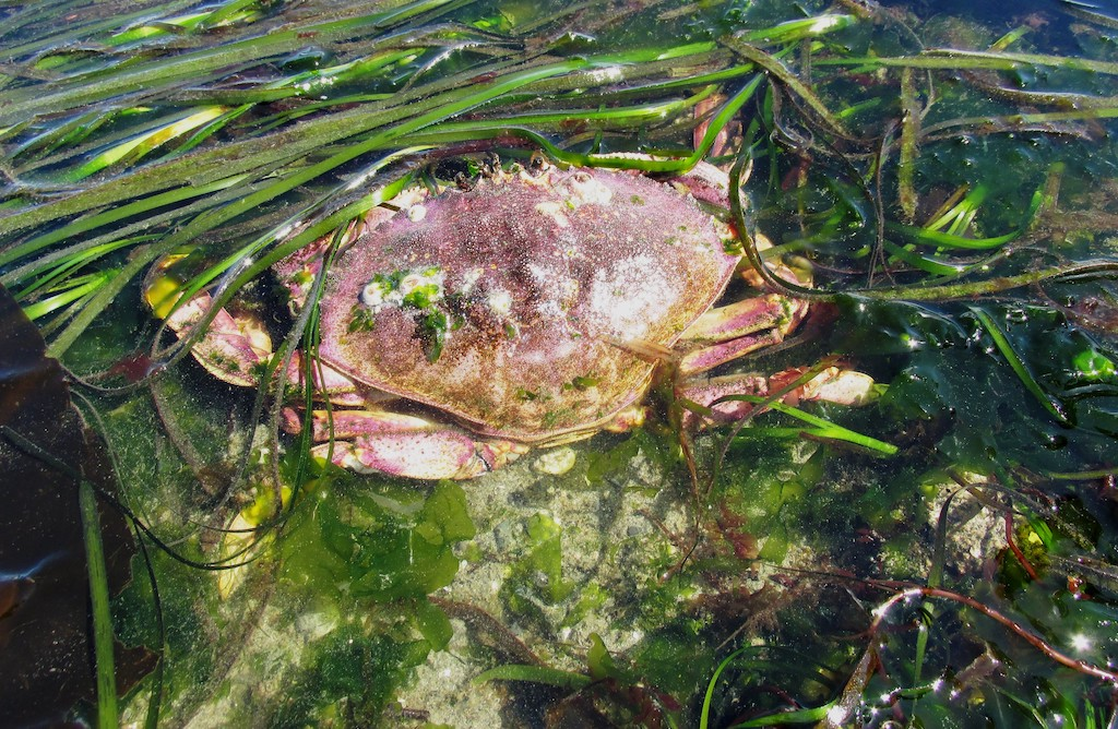A Dungeness crab moves through eelgrass at Golden Gardens in Seattle. Photo: JBrew (https://flic.kr/p/HyAALL)