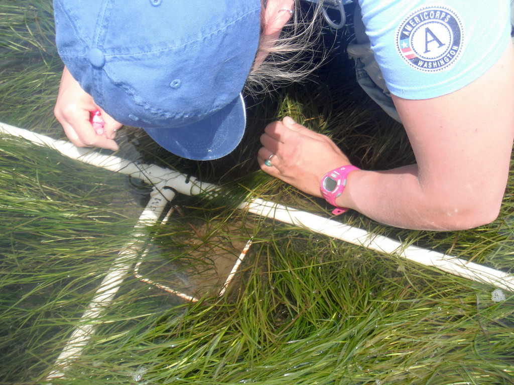 A researcher monitors eelgrass characteristics of height, density, percent cover, flowering shoots, and biomass at the Padilla Bay Reserve. Photo: Elliot Banko, Ecology (https://flic.kr/p/GD3crN)