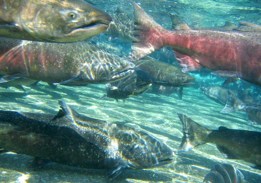 Adult fall Chinook salmon. Photo: Pacific Northwest National Laboratory (CC BY-NC-SA 2.0)