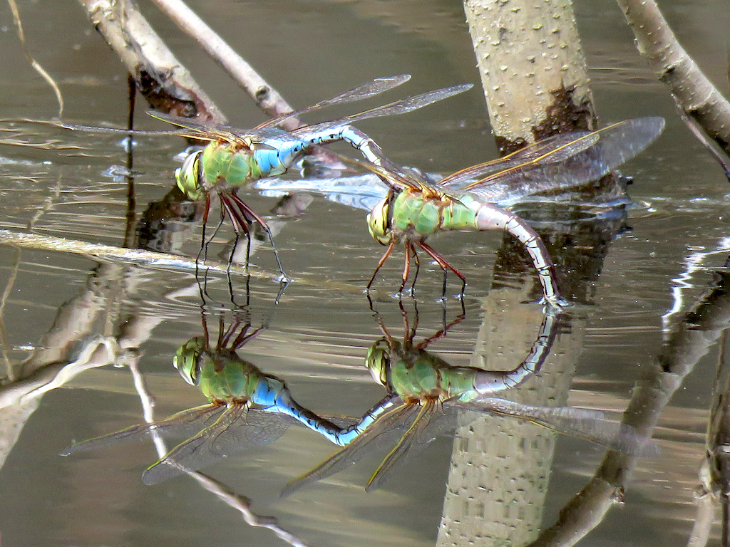 Common green darners (Anax junius). Photo: Judy Gallagher (CC BY 2.0)