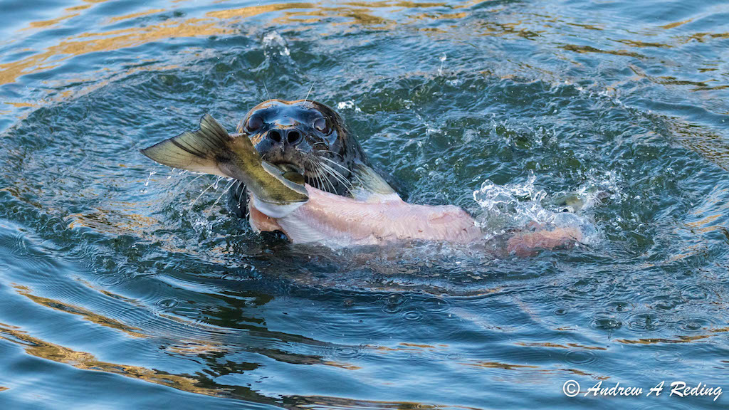 A harbor seal skins a chum salmon, Whatcom Creek Estuary, Washington. Photo: Andrew Reding (CC BY-NC-ND 2.0)