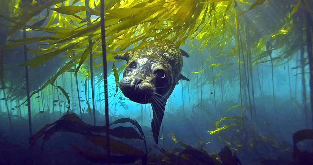 A harbor seal hunts for prey in kelp forests. Photo: Florian Graner