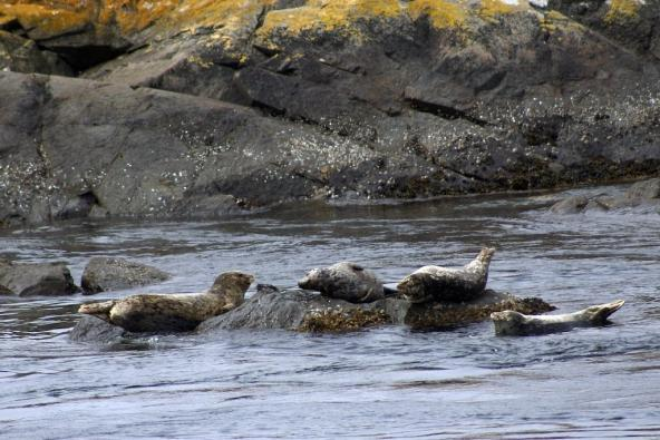 Harbor seals, Lopez Island, WA. Photo: Bethany Weeks (CC BY-NC 2.0) https://flic.kr/p/6Mnq5k