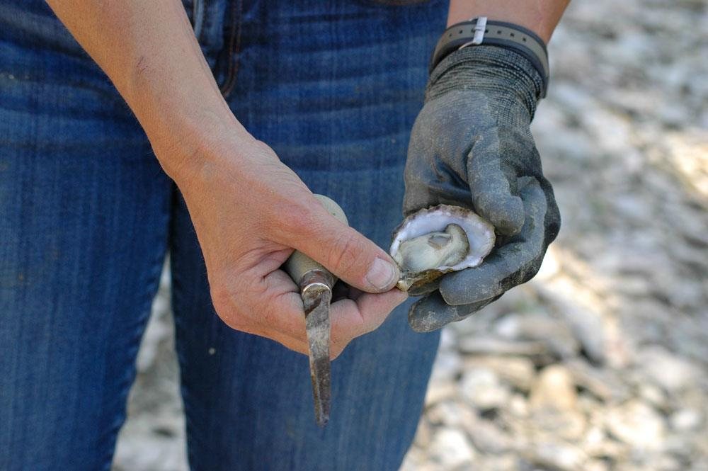 Oyster harvested at Henderson Inlet, WA. Photo: NRCS