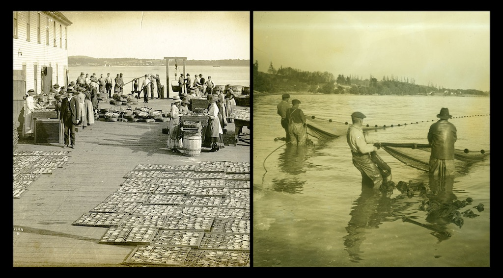 Commercial herring drying and processing business in the Puget Sound region, WA, ca. 1900 (left). Herring fishermen in the water off of Vashon Island ca. 1920 (right). Photos: Washington State Historical Society.