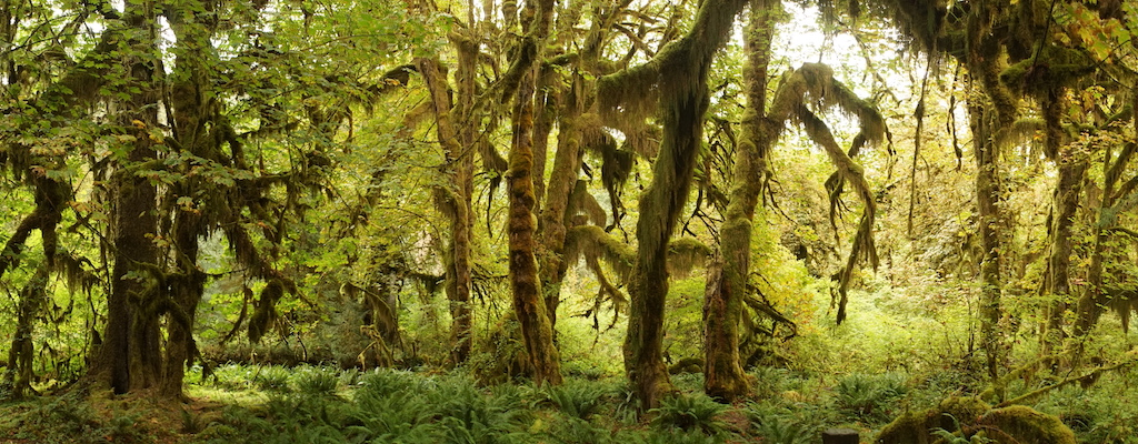The Hoh Rainforest on the Olympic Peninsula in western Washington. Photo: Tjflex2 (CC BY-NC-ND 2.0)