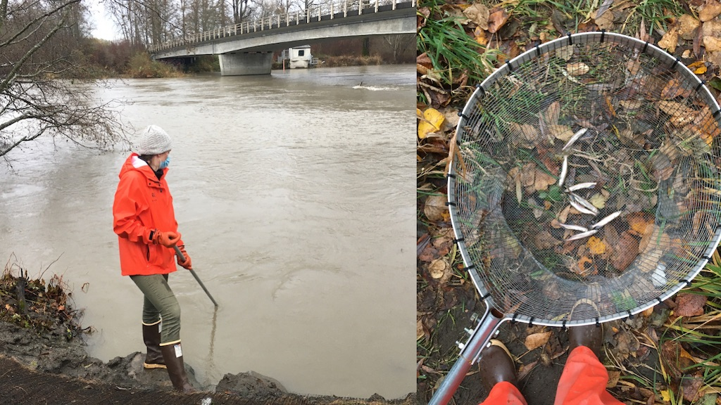 A woman dips a net into the Nooksack River (left); several longfin smelt in a dip net (right). Photos: Eric Wagner