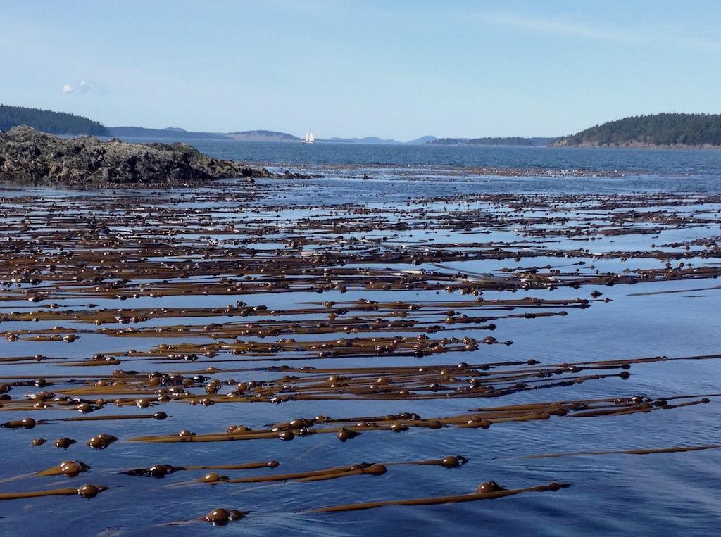 Kelp beds in San Juan Channel. Photo: Thomas Mumford