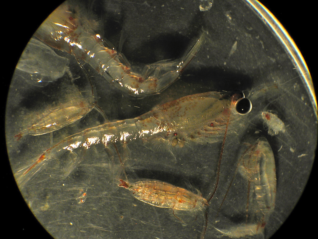 Krill and copepods under a microscope. Photo: Jeff Napp, NOAA/NMFS/AFSC (https://flic.kr/p/JSk2Pd)