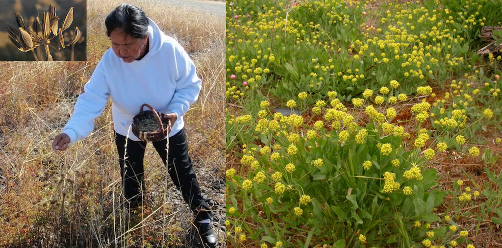 Composition images of a woman harvesting Indian celery (Lomatium nudicaule) seeds