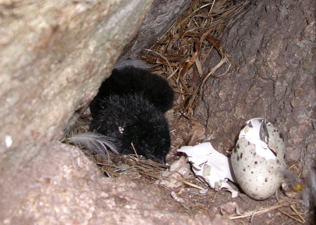 Two pigeon guillemot chicks in a nesting crevice with egg shell remains. Photo: Sabine's Sunbird (CC BY-SA 4.0) (https://creativecommons.org/licenses/by-sa/4.0)