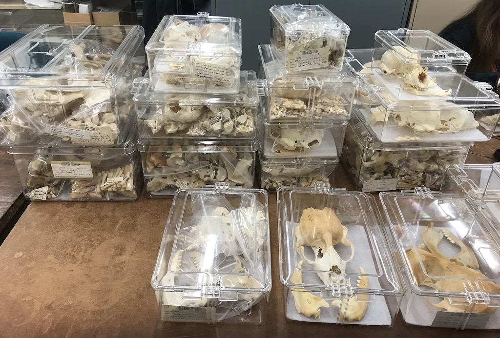 Clear boxes containing harbor seal bone specimens