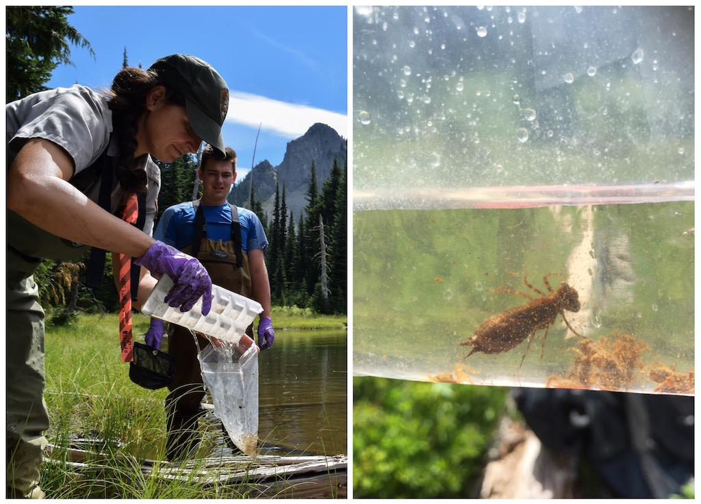 Volunteers collecting dragonfly nymphs in Mount Rainier National Park. Photo: NPS