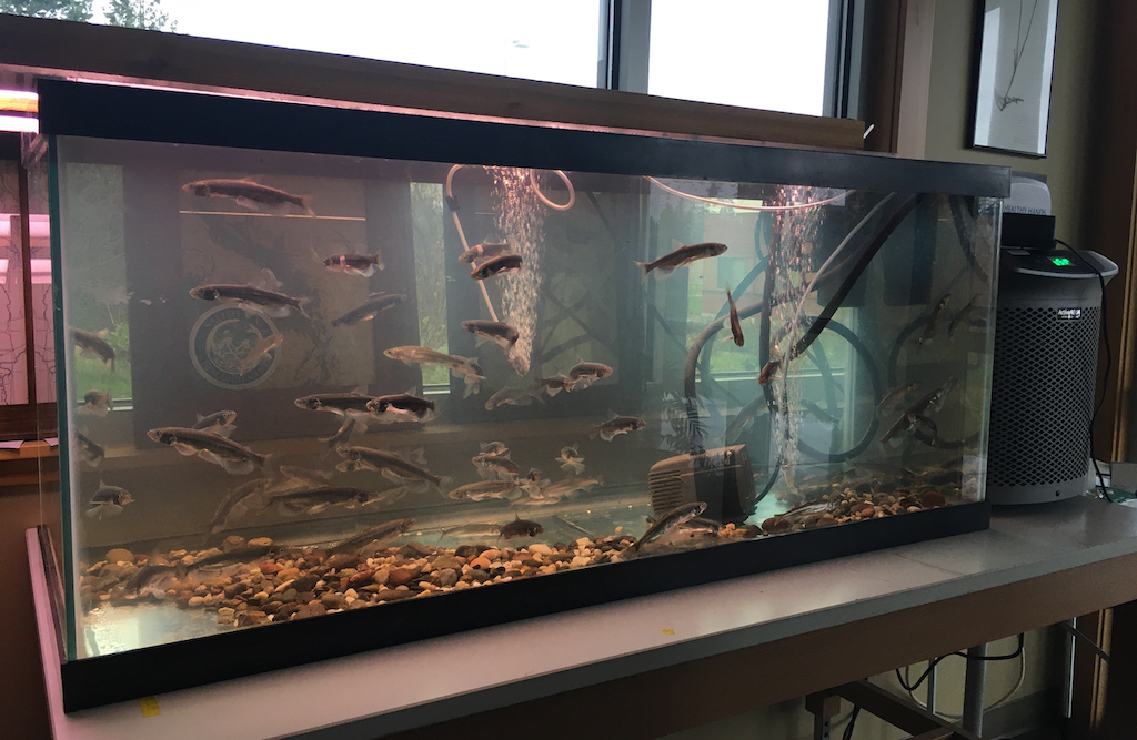 Fish tank with several longfin smelt. Photo: Eric Wagner