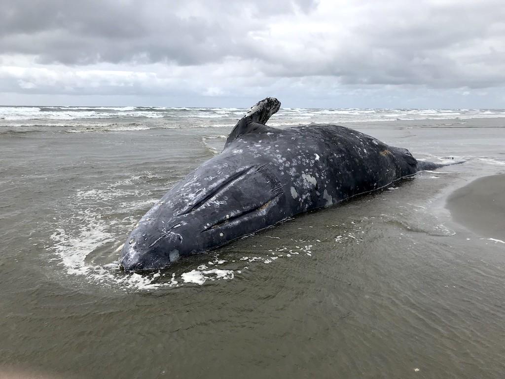 A dead gray whale on the beach