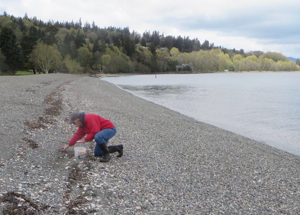 A volunteer scoops sand mixed with surf smelt eggs into a bucket at a sampling site on Fidalgo Bay. Photo: Pete Haase