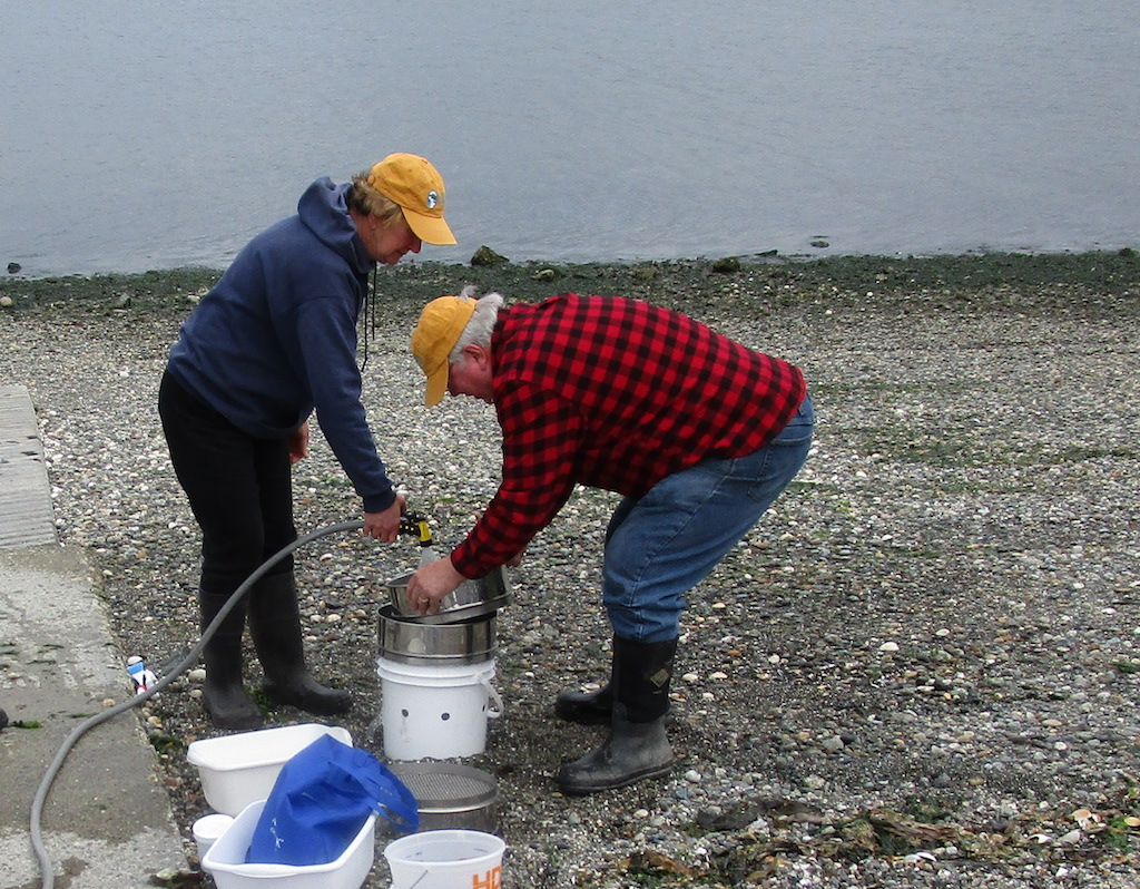 Volunteers at Fidalgo Bay Aquatic Reserve wash samples of sand containing surf smelt eggs through a series of screens. Photo: Pete Haase