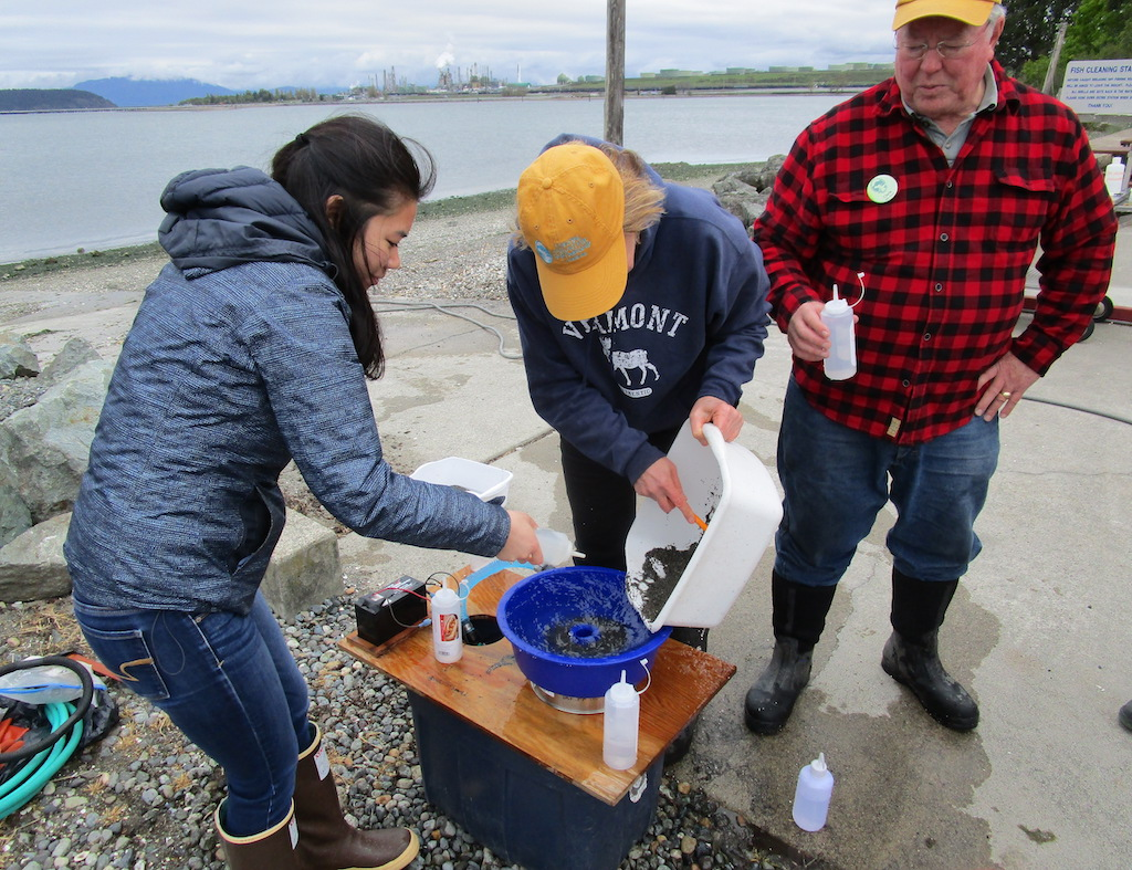 A volunteer scoops up sand mixed with surf smelt eggs at a sampling site on Fidalgo Bay. Photo: Pete Haase