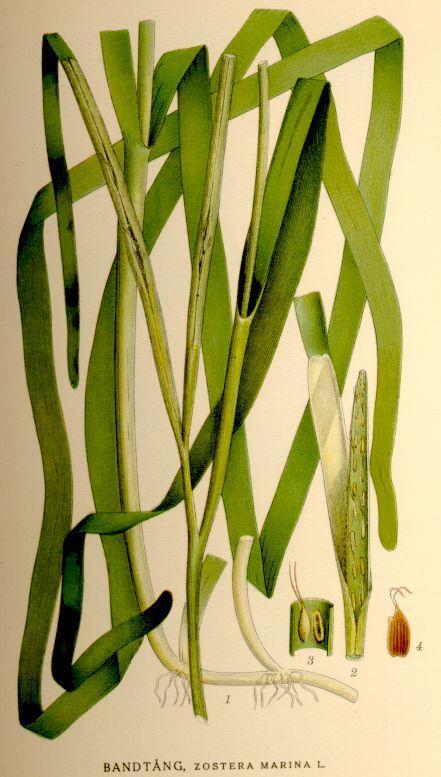 Eelgrass (Zostera sp.)