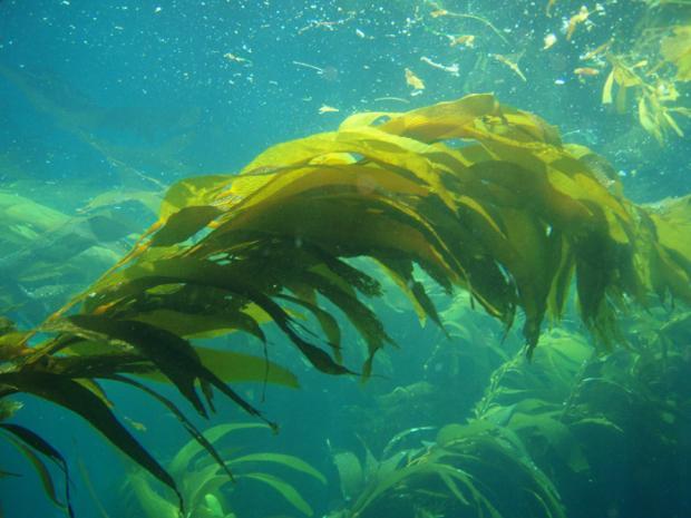 Giant Kelp (Macrocystis pyrifera)