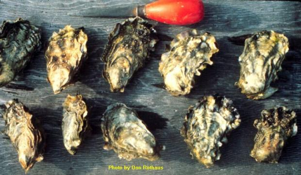 Pacific Oyster (Crassostrea gigas)