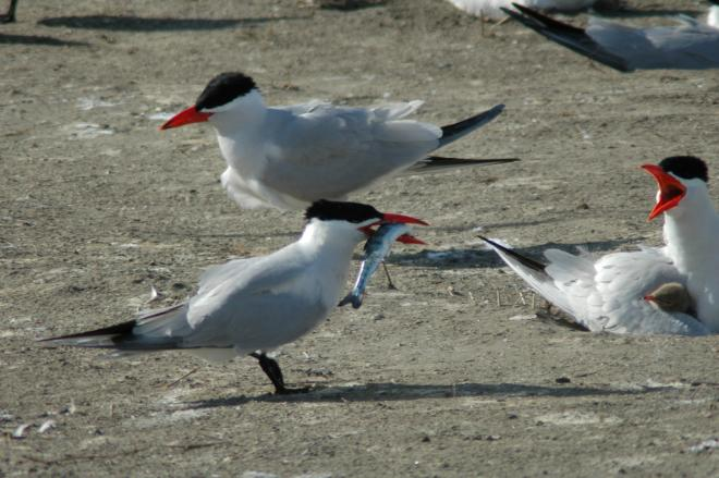 Caspian Tern with Chinook Salmon Smolt. Credit: David Craig. https://www.flickr.com/photos/caspian_tern/3502481523