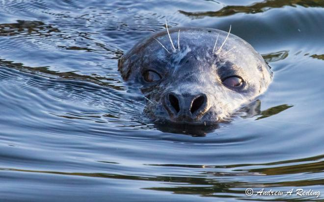 Harbor seal chasing and eating salmon. Bellingham, WA. Photo: Andrew Reding https://www.flickr.com/photos/seaotter/8224883207