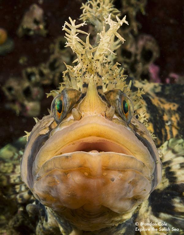 Warbonnet fish. Photo by Brandon Cole. All rights reserved. Courtesy of Explore the Salish Sea: A Nature Guide for Kids.