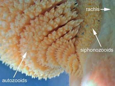 A close-up of a preserved Orange Sea Pen showing the gastrozooids  (feeding polyps), siphonozooids (pumping polyps), and rachis (central stalk).