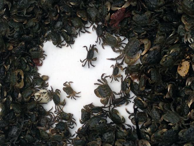 A tub of native hairy shore crabs trapped for monitoring at Zelatched Point on Hood Canal. Crabs are returned to their habitat after counting and sorting. Photo: Christopher Dunagan