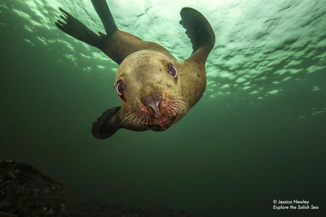 Steller sea lion. Photo by Jessica Newley. All rights reserved. Pacific Giant Octopus suckers. Photo by Brandon Cole. All rights reserved. Courtesy of Explore the Salish Sea: A Nature Guide for Kids.