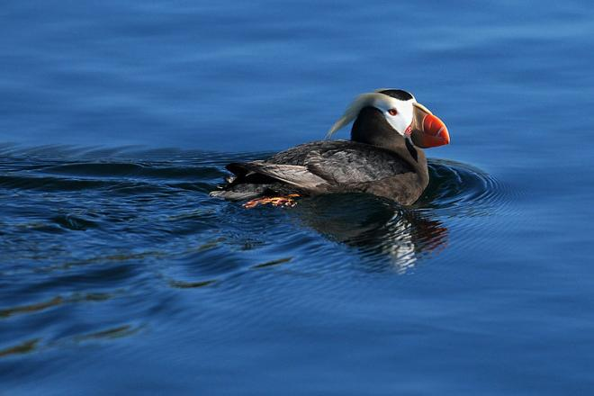 Tufted puffin (Fratercula cirrhata) off the coast of Protection Island. Image courtesy of Peter Davis, US Fish and Wildlife Service.