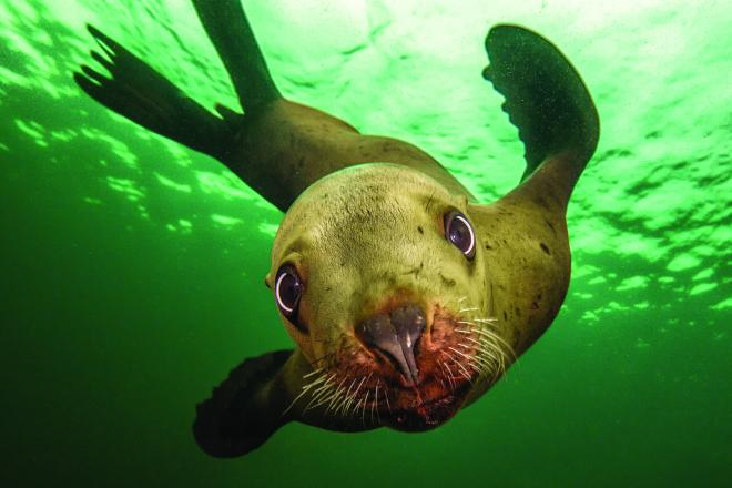 Juvenile Stellar sea lion (page 107). Photo: Jessica Newley