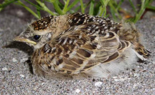 Fledgling streaked horned lark on Brown Island (photo by Mark Hopey).