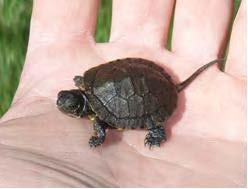Western pond turtle hatchling (photo by Eric Holman).
