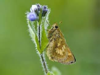 Mardon skipper (photo by Tom Kogut)