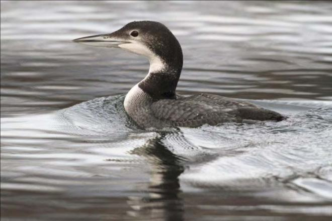 A 20-month old common loon on the Columbia River near Pateros, Washington, January 2010; this bird was banded as a chick on Bonaparte Lake, Okanogan County (Photo by Daniel Poleschook, Jr. and Virginia Gumm Poleschook).
