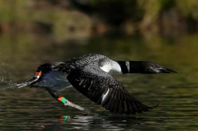. Female common loon banded in Washington (photo by Daniel Poleschook Jr.).