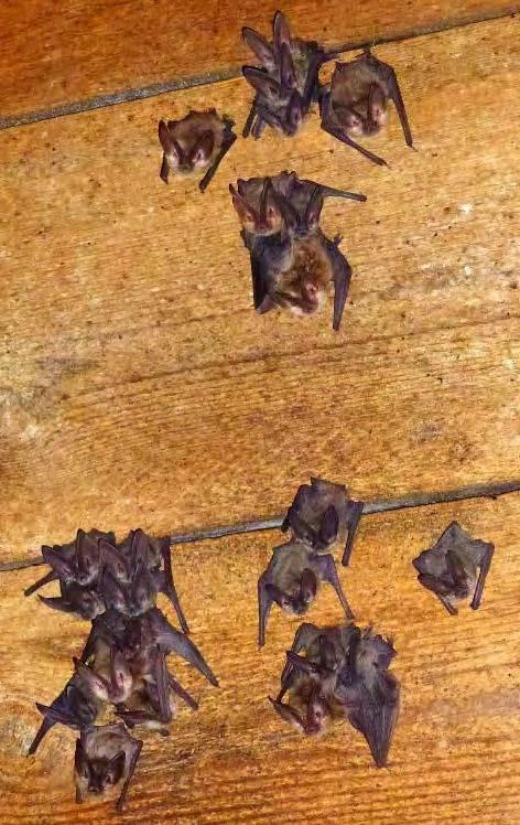 A maternity colony of Townsend's big-eared bats on a WDFW conservation easement property in Okanogan County. The site is part of a complex of old structures used by the colony.