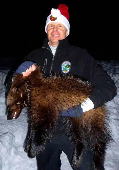 WDFW District Biologist Scott Fitkin with a male wolverine captured in the North Cascades of Okanogan County, Washington, in 2012 (photo WDFW).