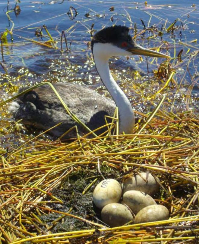 Parent western grebe returns to a nest after an egg check by biologists in 2012. Eggs are individually marked to track rates of egg loss and replacement through the season (photo by R. Finger).