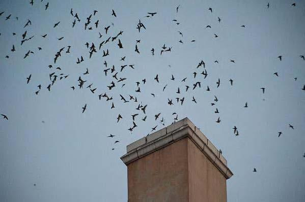 Migrating Vaux's swifts enter the chimney at Wagner Elementary School in Monroe to roost for the night (photo by Martha Benedict).