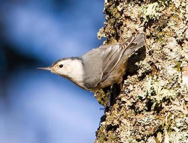 Slender-billed white-breasted nuthatch (photo by Rod Gilbert).