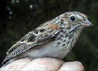 Oregon vesper sparrow in hand (photo by Russell Rogers).