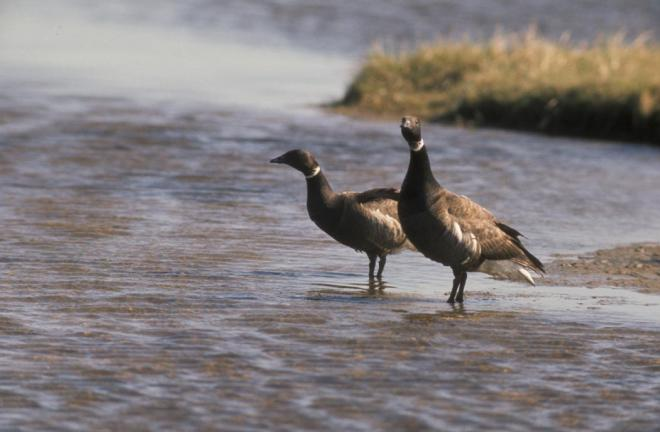 Brant (Branta bernicla). Photo by Peter Mickelson, U.S. Fish and Wildlife Service.