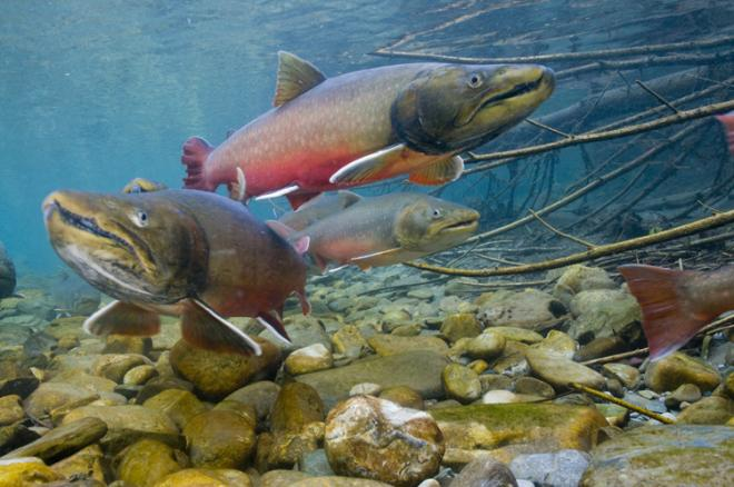 Bull trout (Salvelinus confluentus). Photo by Joel Sartore, U.S. Fish and Wildlife Service.