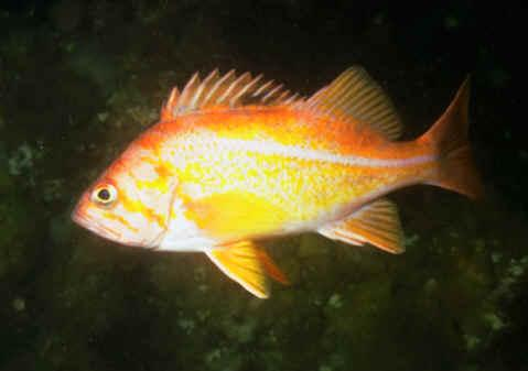Canary rockfish (Sebastes pinniger). Image courtesy of NOAA.